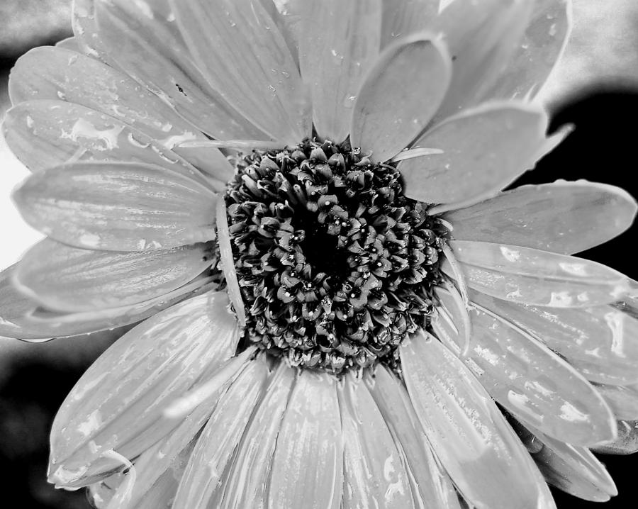 Gerber Daisy Photograph - Black And White Gerbera Daisy by Amy Fose