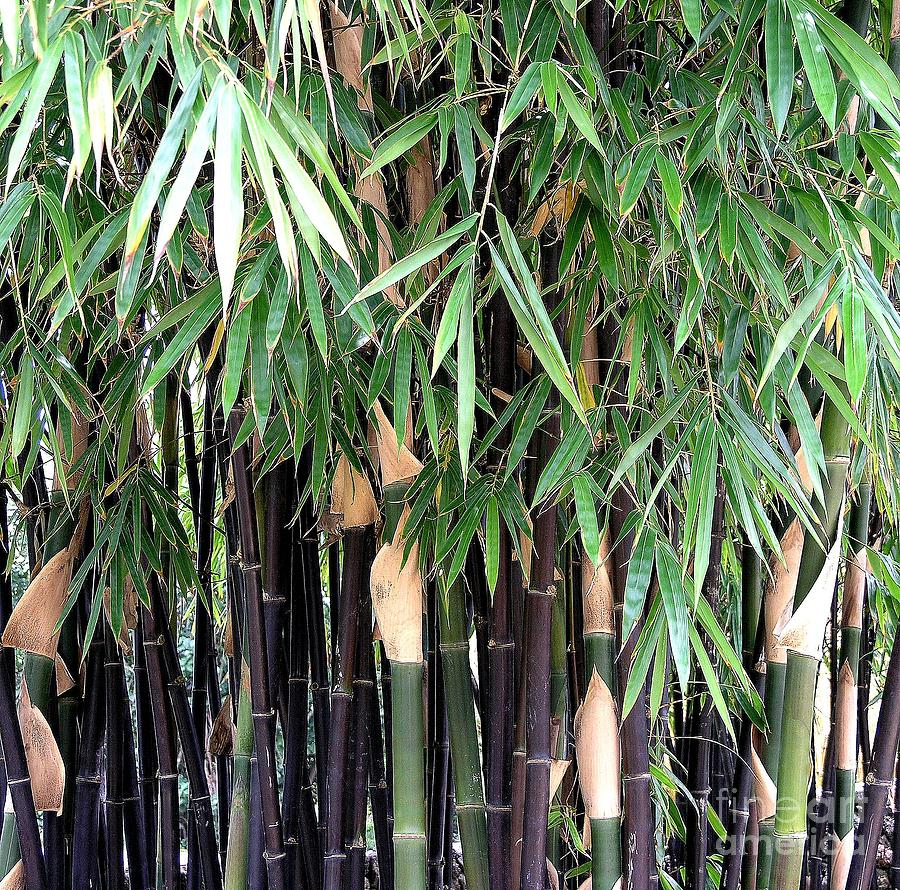 Black Photograph - Black Bamboo by Mary Deal