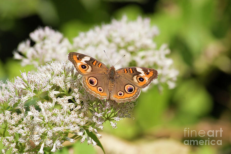 Common Buckeye Butterfly Photograph