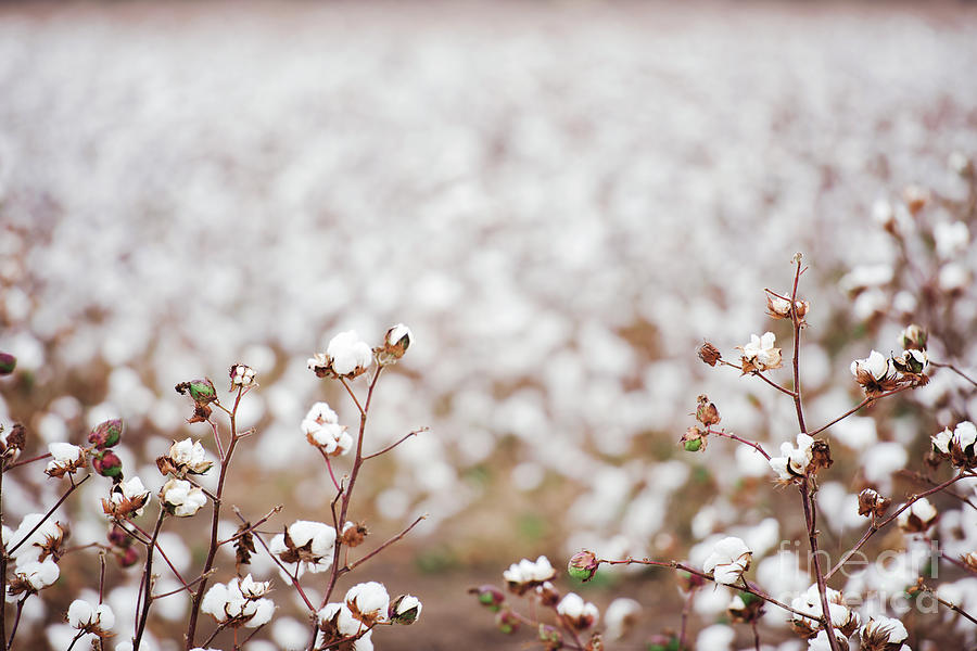 Cotton Field In Oakey Photograph