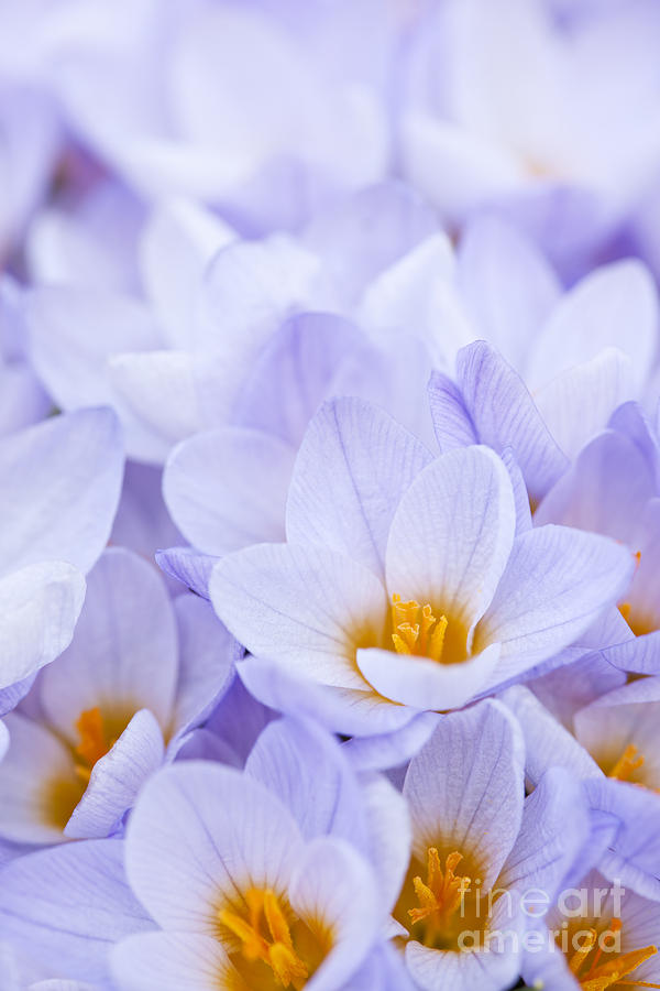 Crocus Photograph - Crocus Flowers by Elena Elisseeva
