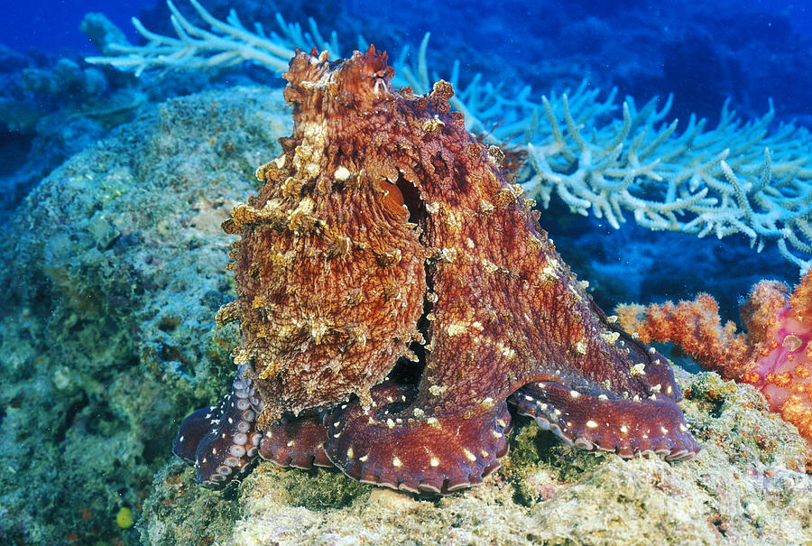30-pfs0115 Photograph - Fiji, Day Octopus by Dave Fleetham - Printscapes