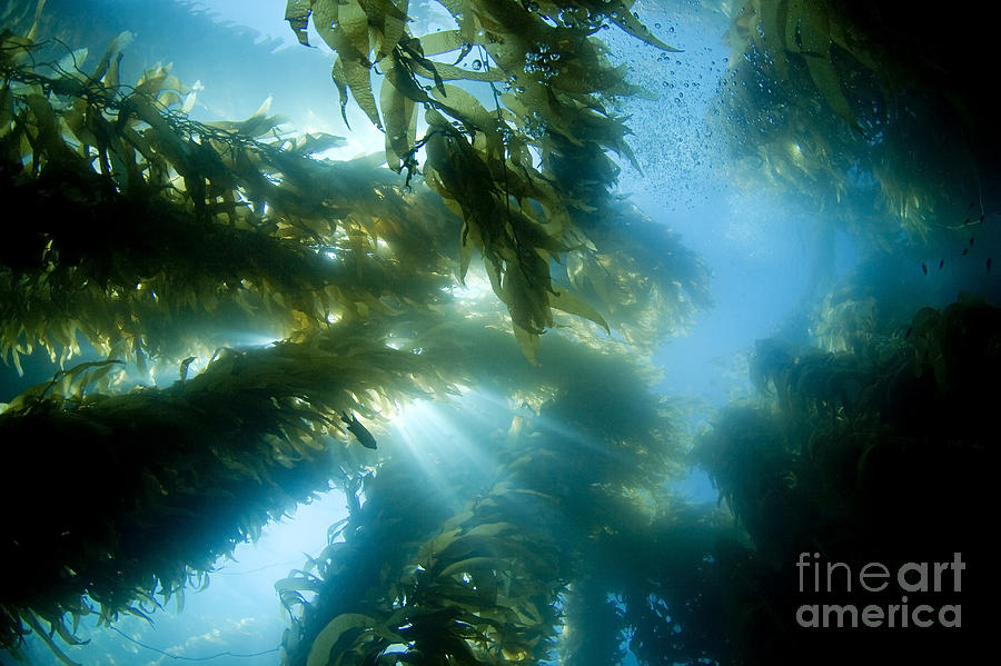 Algae Photograph - Giant Kelp Forest by Dave Fleetham - Printscapes