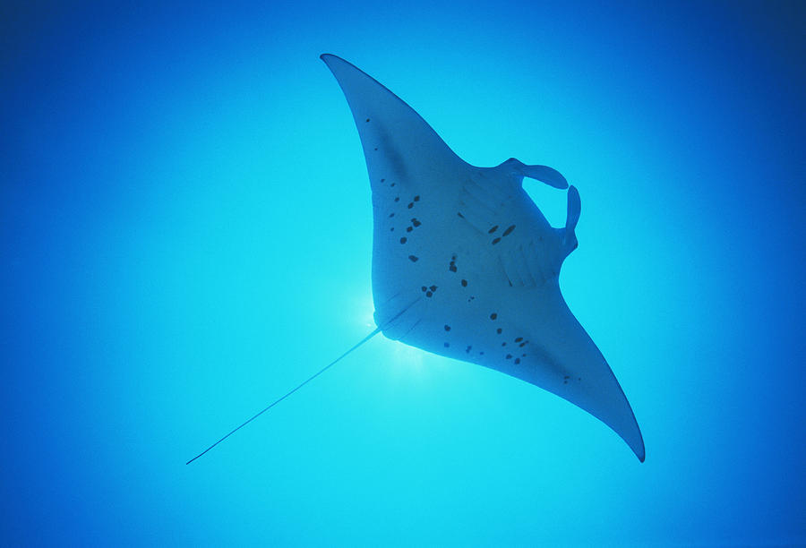 Ray Photograph - Giant Manta Ray by Matthew Oldfield