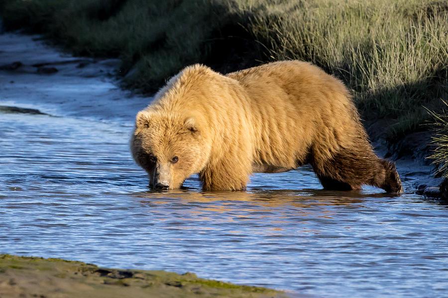 Golden Bear Photograph By Jack Bell
