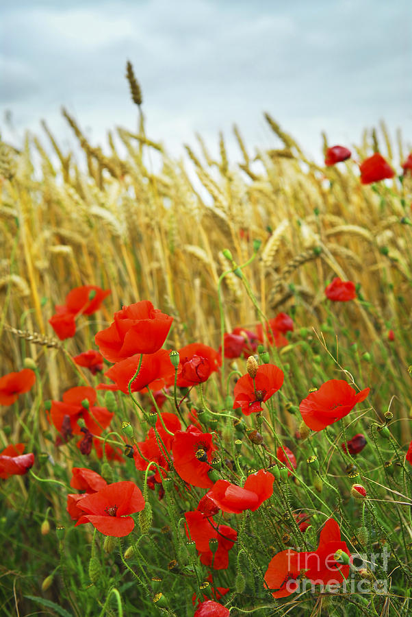 Grain And Poppy Field Photograph