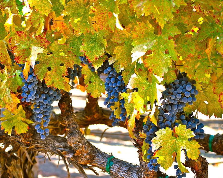 Blue Grapes Photograph - Grapes by Dorota Nowak