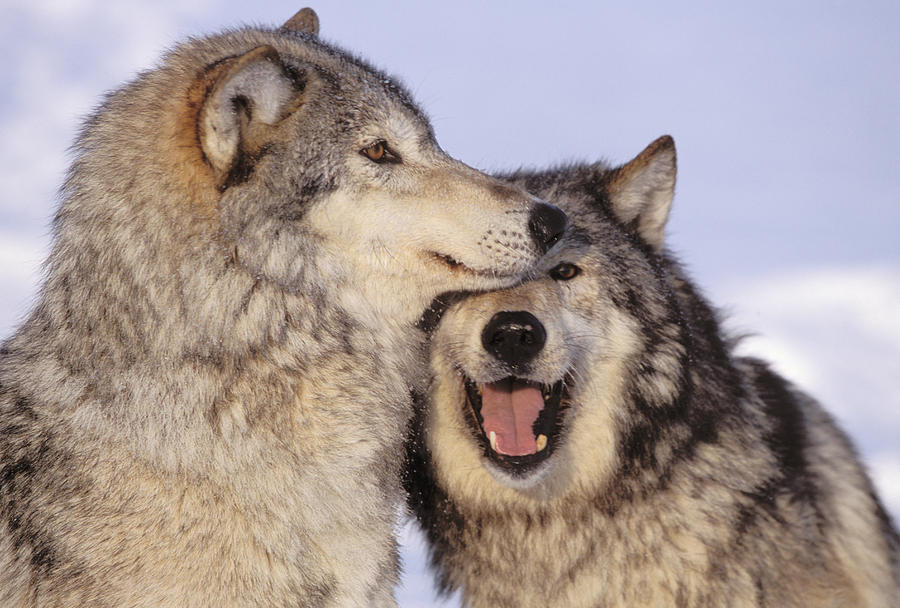 Affection Photograph - Gray Wolves by John Hyde - Printscapes