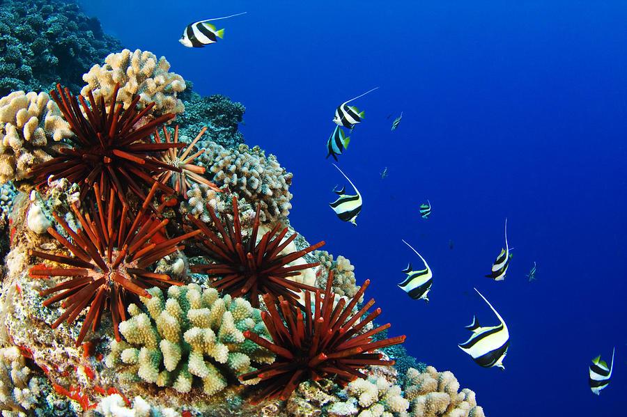 Animal Art Photograph - Hawaiian Reef Scene by Dave Fleetham - Printscapes