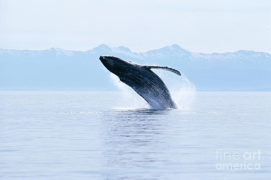 Active Photograph - Humpback Whale Breaching by John Hyde - Printscapes