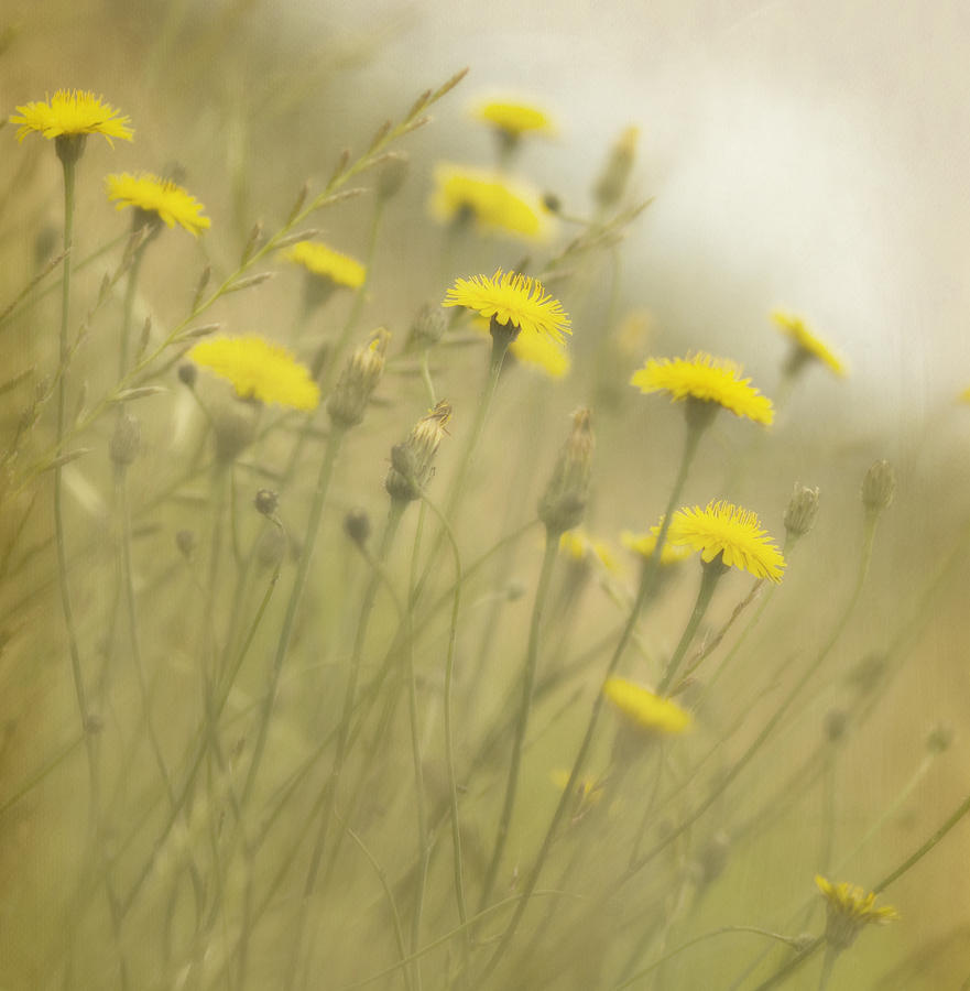 Dandelions Photograph - In The Mist by Rebecca Cozart