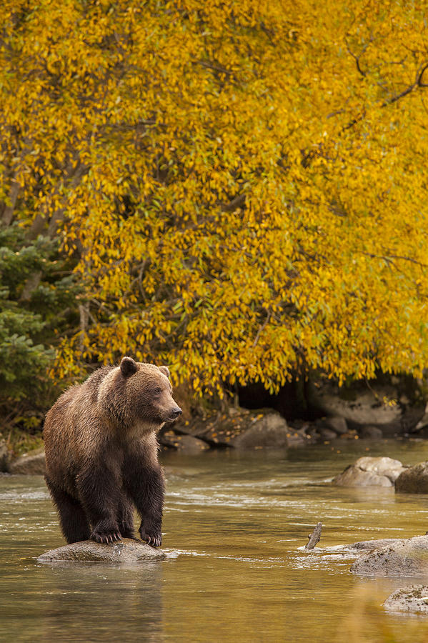 Alaska Photograph - Looking For An Autumn Meal by Tim Grams