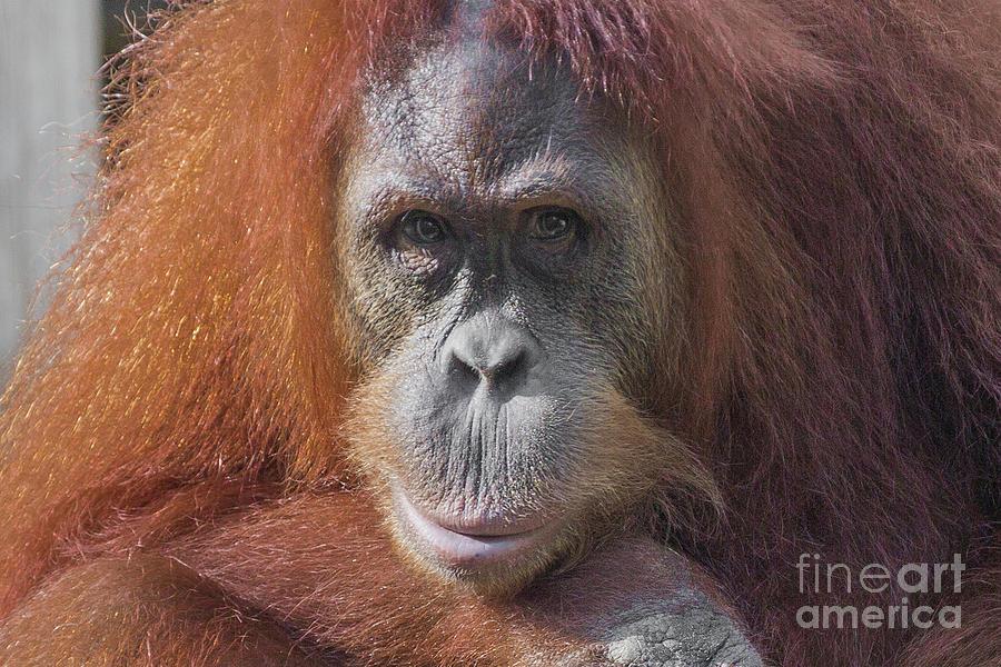 Orangutan Portrait Photograph