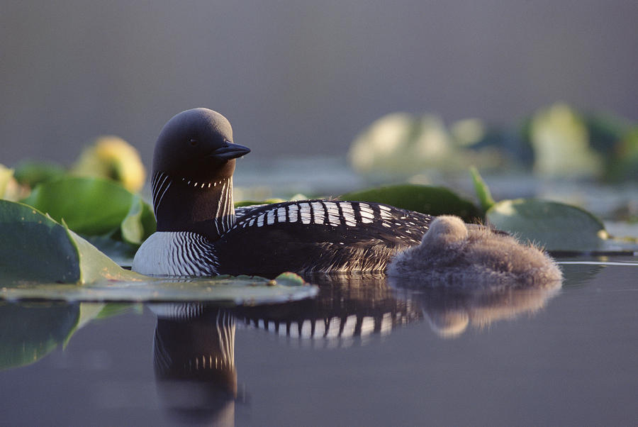 Mp Photograph - Pacific Loon Gavia Pacifica Parent by Michael Quinton