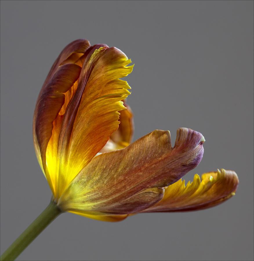 Flower Photograph - Parrot Tulip 21 by Robert Ullmann
