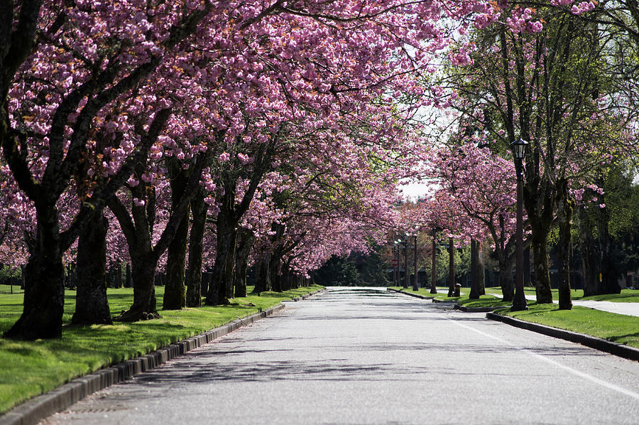 Pink Blooming Trees Photograph