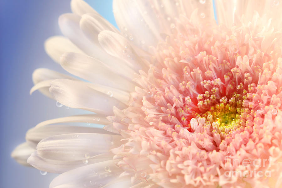 Anniversary Photograph - Pink Daisy  by Sandra Cunningham