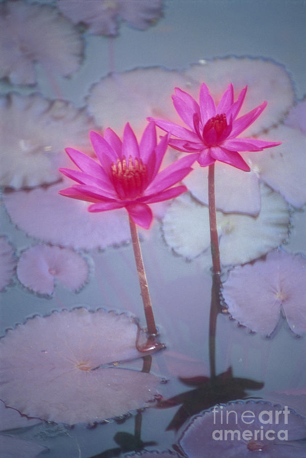 Anther Photograph - Pink Lily Blossom by Ron Dahlquist - Printscapes