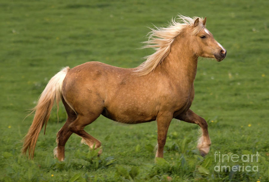 Horse Photograph - Prancing Pony by Angel  Tarantella