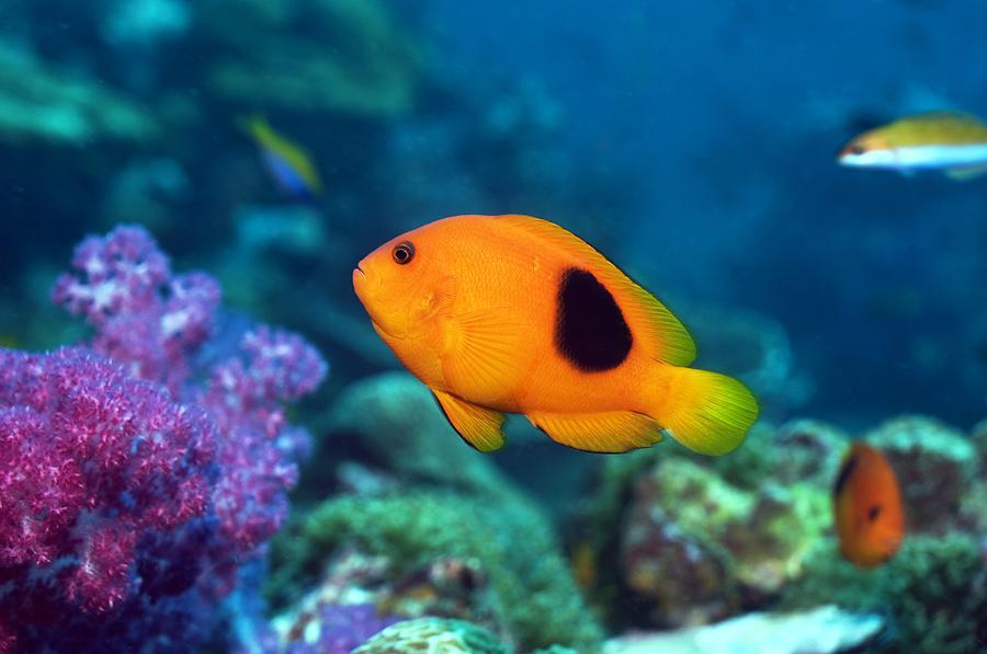 Red Saddleback Anemonefish And Soft Coral Photograph