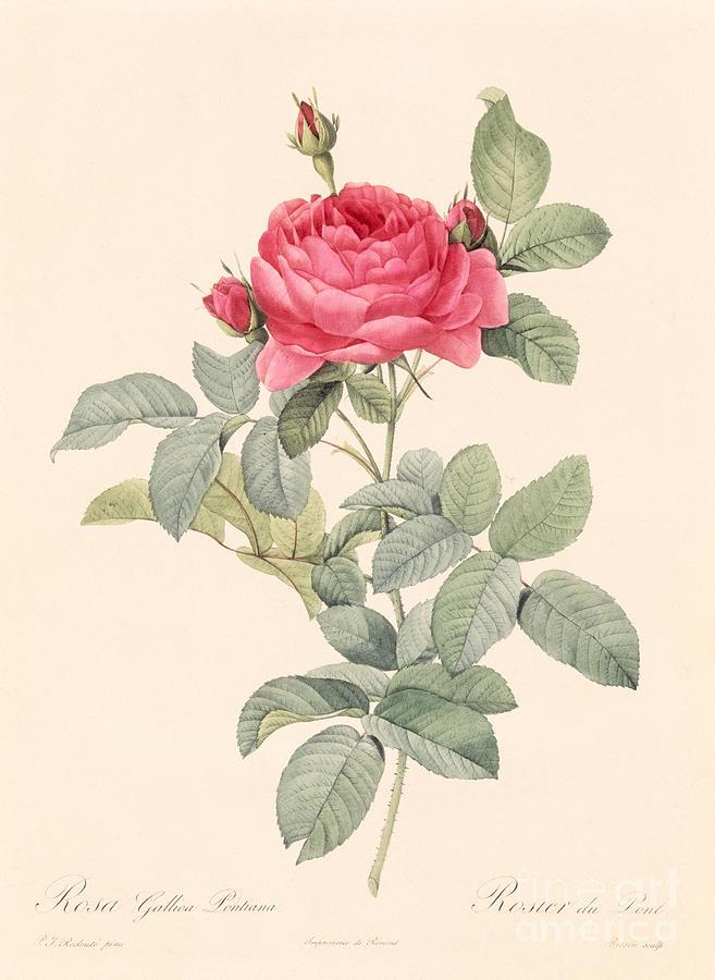Rosa Gallica Pontiana Drawing