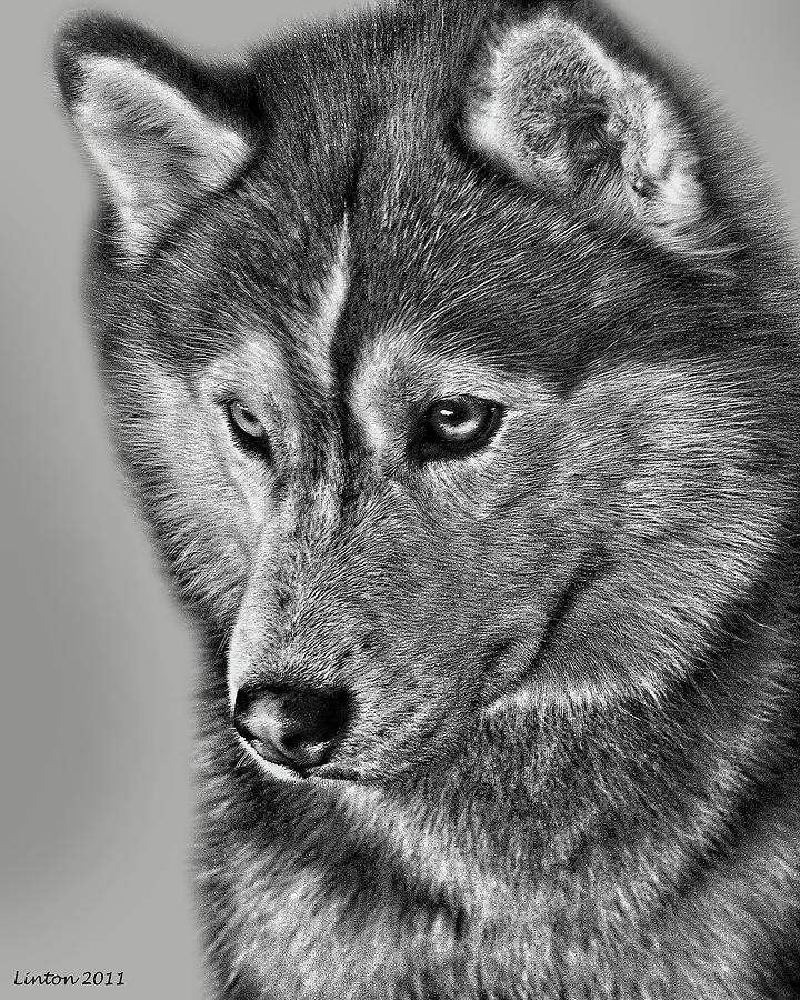 Siberian Husky Digital Art - Siberian Husky 2 by Larry Linton