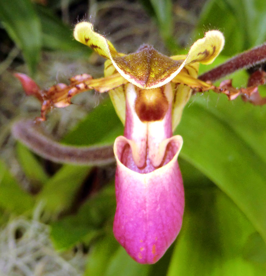 Orchid Photograph - Slipper Foot by Mindy Newman