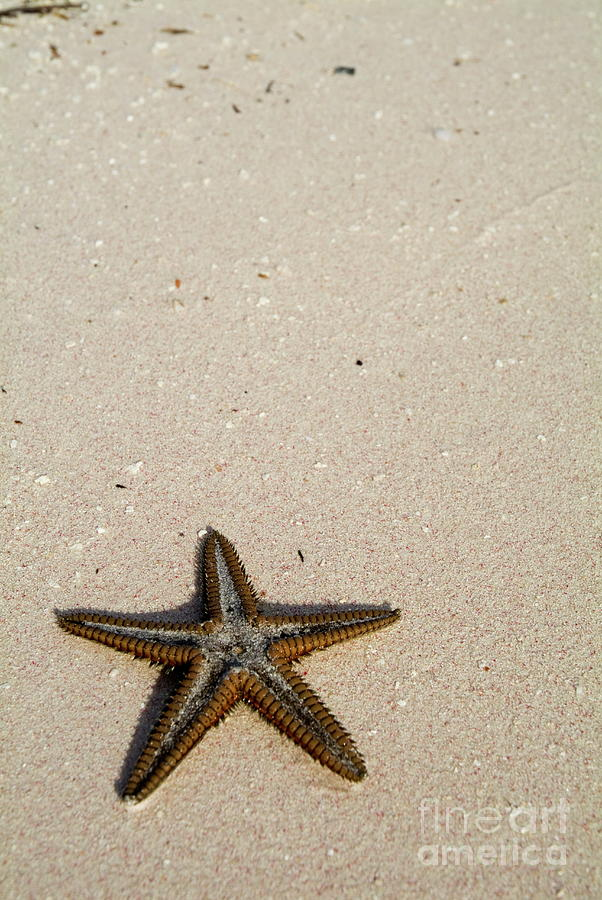 Animal Photograph - Starfish Partially Buried In White Sand by Sami Sarkis