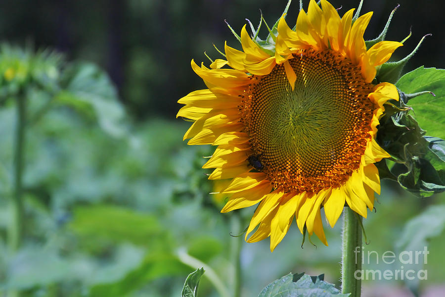 Sunflower Photograph - Sunflower Series by Wendy Mogul