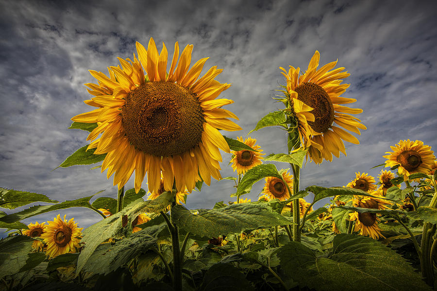 sunflower field picture blooming - photo #7