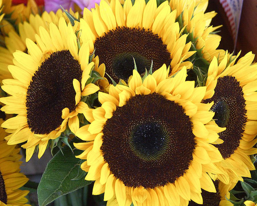 Flowers Photograph - Sunflowers by Tom Romeo