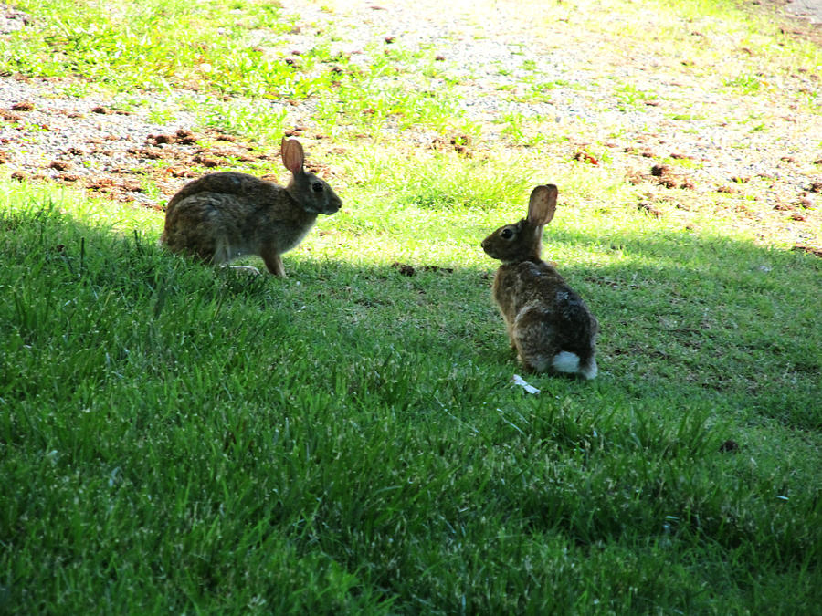 The Rabbit Dance Photograph