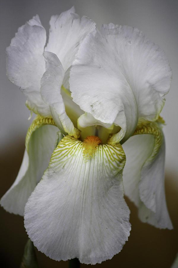 Iris Photograph - White Iris by Teresa Mucha