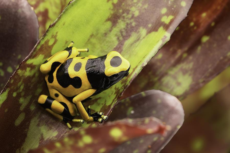 [Image: 1-yellow-banded-poison-arrow-frog-dirk-ercken.jpg]