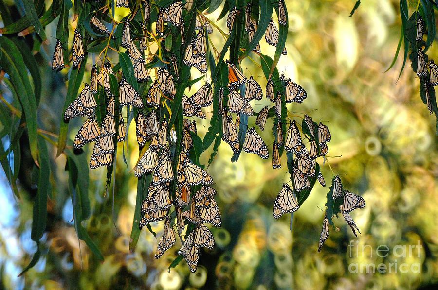 Butterflies Photograph