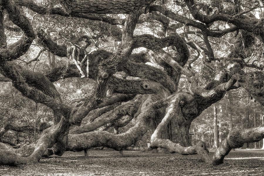 Angel Oak Live Oak Tree Photograph