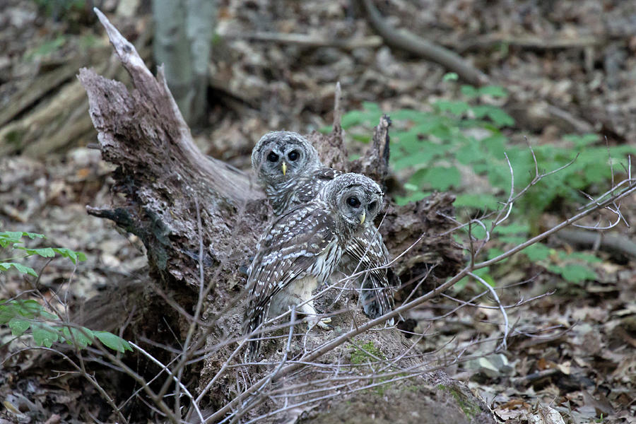 2 Barred Owls Photograph