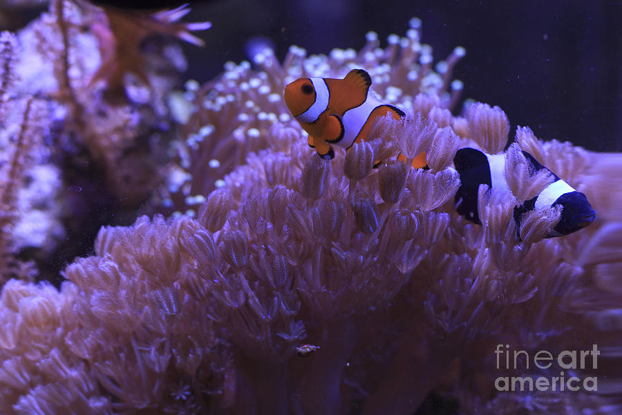 Black Photograph - Black And Red Clownfishes In The Corals Tentacles ...