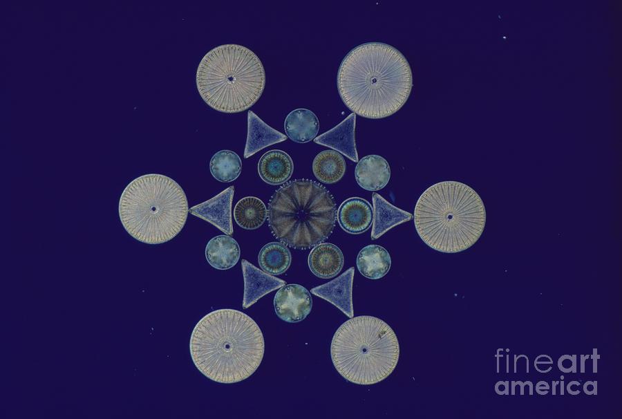 Diatom Photograph - Diatom Arrangement by M. I. Walker