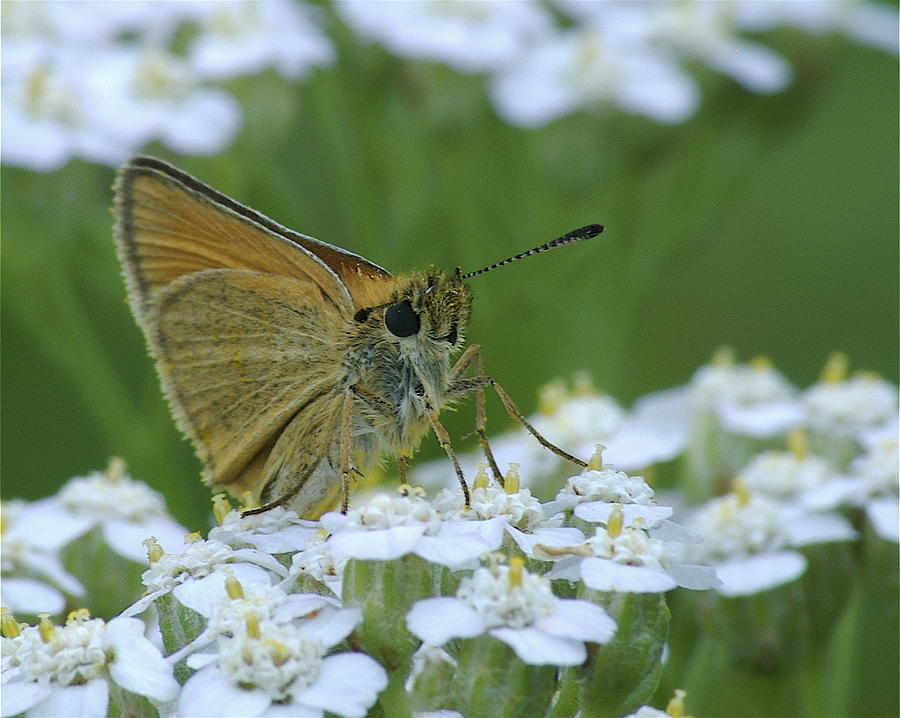 White Flowers Photograph - Dion Skipper Yarrow Blossoms by Michael Peychich