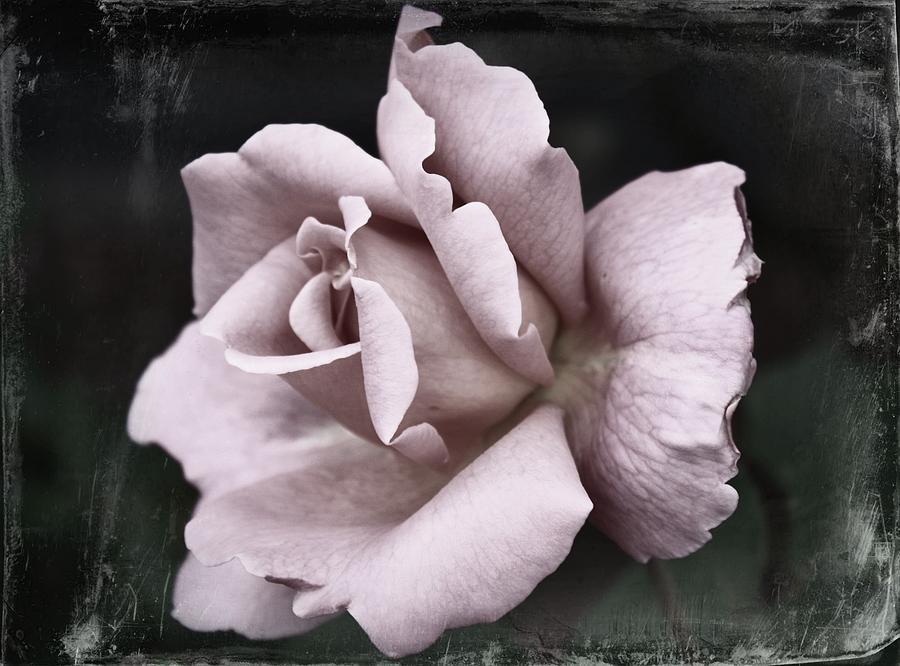Photograph - Purple Rose by Cathie Tyler