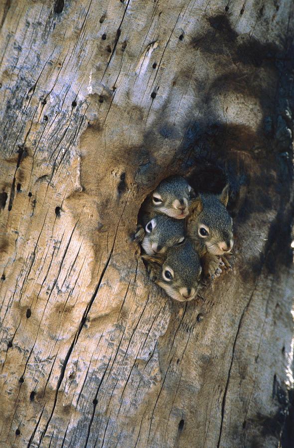 Mp Photograph - Red Squirrel Tamiasciurus Hudsonicus by Michael Quinton