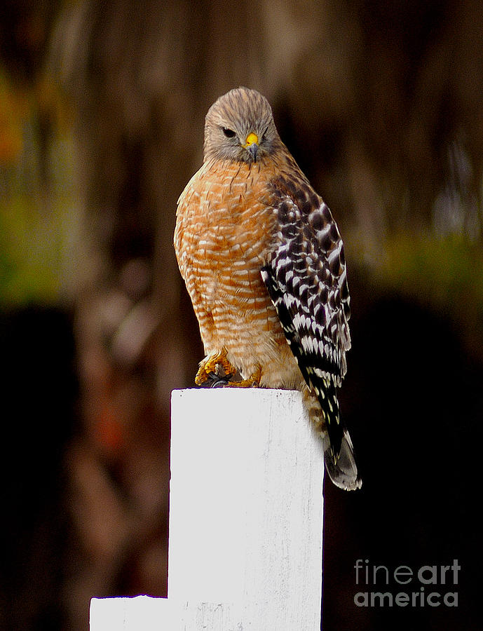 Red Tail Hawk Photograph - Red Tail Hawk by Marc Bittan