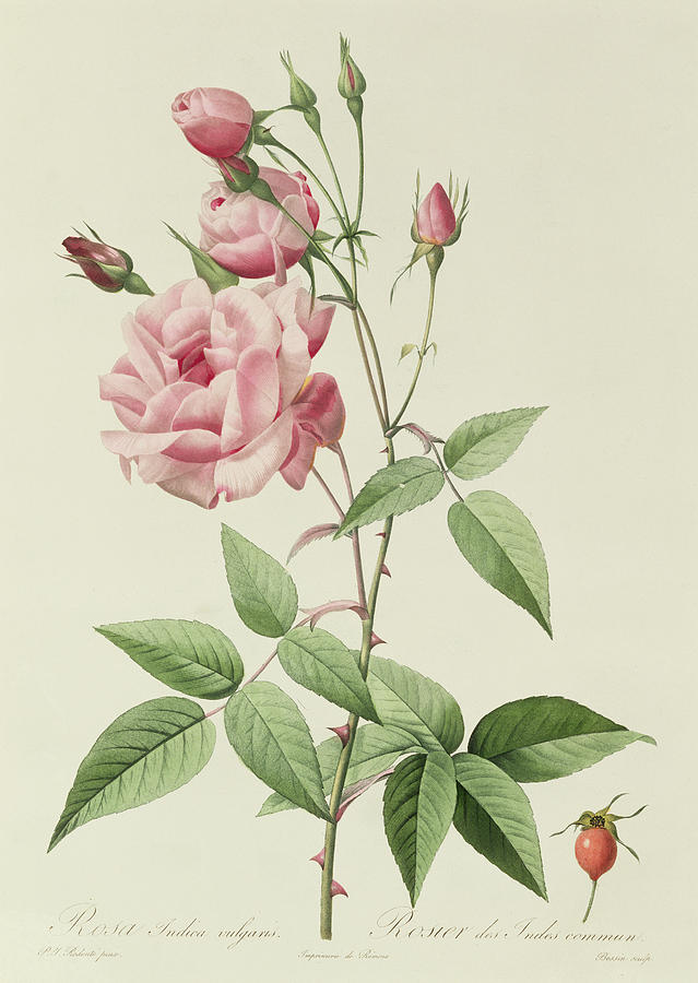 Rosa Indica Vulgaris Drawing