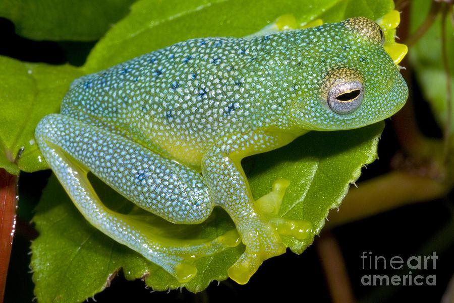 Centrolenidae Photograph - Spiny Glass Frog by Dante Fenolio