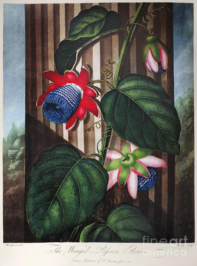1802 Photograph - Thornton: Passion-flower by Granger
