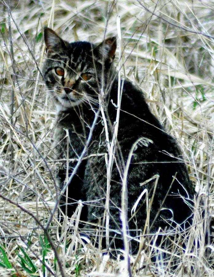 Wild Feline In Pasture Waiting For Dinner - Photograph Of A Wild Cat - Cat Photography Photograph - Waiting by Juls Adams