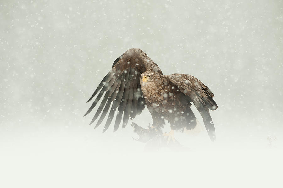 Norway Photograph - White-tailed Eagle by Andy Astbury