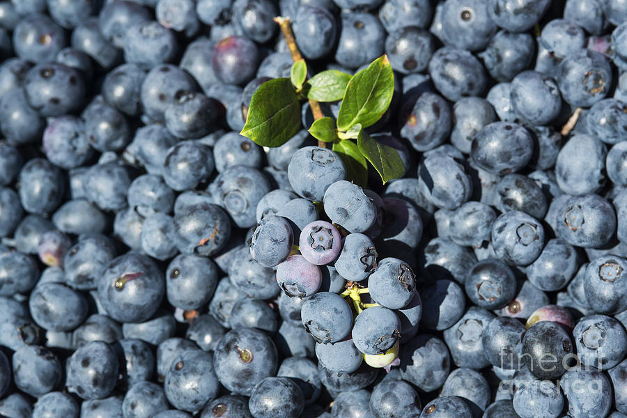 Cyanococcus Photograph - Blueberry Harvest by John Greim