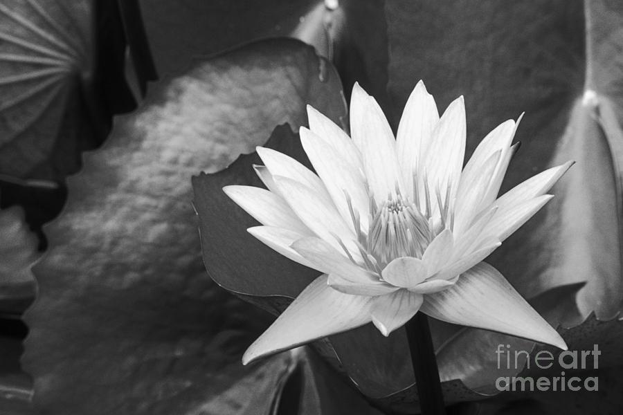 Art Medium Photograph - Water Lily by Bill Brennan - Printscapes